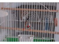Male grass finch for sale