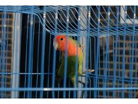 Female Lovebird for sale