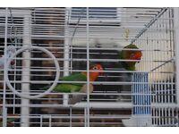 PAIR OF LOVEBIRDS 55 GBP