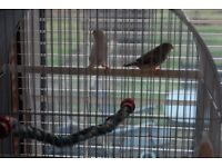 Pairof zebra finches for sale