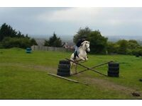 Welsh Sec C, 13.2hh, Cremello Mare for Sale