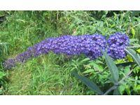 Buddleja (buddleia) plants - 5 litre size, several rare and unusual varieties.