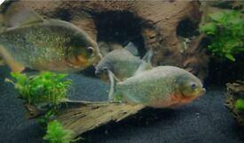 4 Red Bellied Piranha, 26 Months old