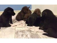 Malador (Malamute, Labrador x) puppies for sale