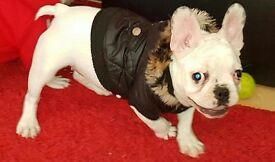 100 % French Bulldog puppies ready to go now