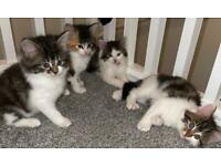 Beautiful Calico/Ragdoll Kittens 😍😍