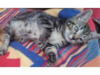 Beautiful Tabby kitten little girl 10 weeks old