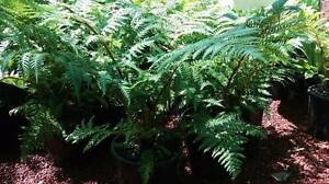 Australian Tree Fern (Cyathea cooperi) 20cm pots on special! Greenvale Hume Area Preview