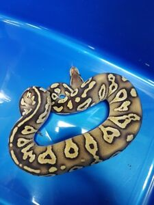pastel mojave vanille femelle python royal