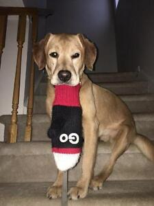 """Adult Male Dog - Labrador Retriever-Hound: """"Ren"""""""