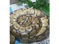 Bumblebee royal python looking for a new home