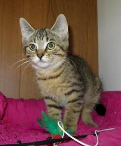 "Baby Male Cat - Domestic Short Hair - brown-Tabby: ""OLLIE"""
