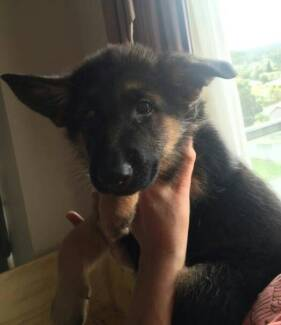 Quality Purebred German Shepherd Puppies. South Morang Whittlesea Area Preview