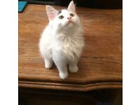 2 month kitten really fluffy and adorable
