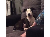 Female Staffy Cross Puppy