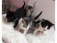 4 beautiful kittens! 1 LEFT!