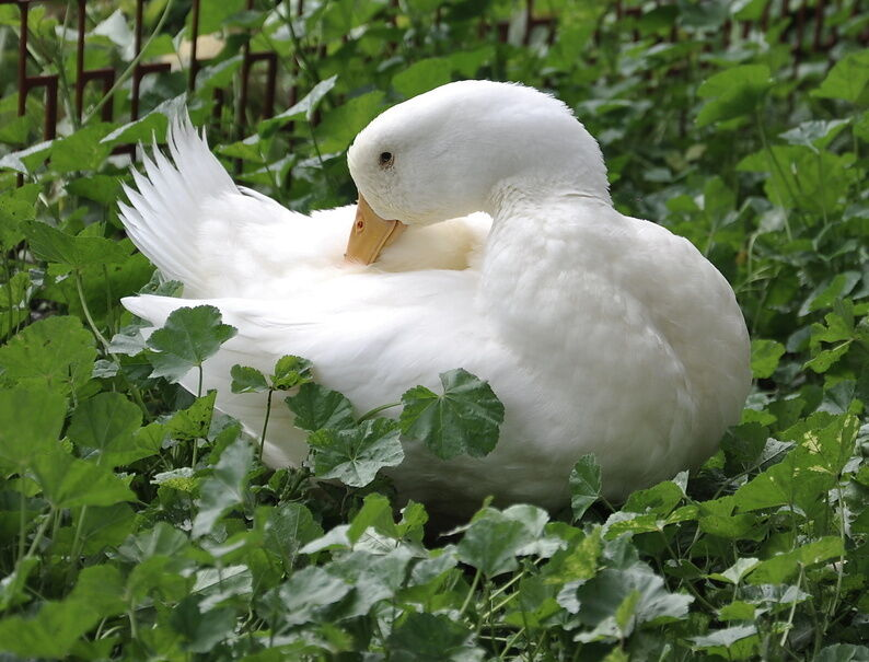 How to Care for Your Duck