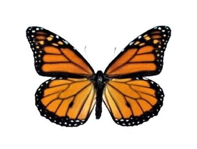 ONE NORTH AMERICAN MONARCH DANAUS PLEXIPUS BUTTERFLY WHOLESALE WINGS CLOSED  (Monarch Butterfly Wings)