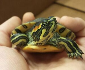 yellow bellied slider turtle
