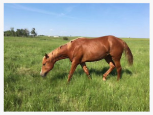 Yearling ApHC filly - Horse for sale