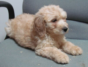 Male Goldendoodle puppy Available NOW
