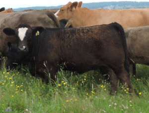 Taures commerciales Simmental Angus