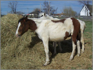 2016 APHA Bay Tobiano Filly - Doc Bar, Poco Bueno bred