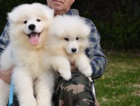 2 Samoyed boys