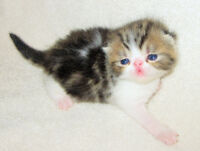 Gorgeous Purebred Exotic Brown Tabby & White Male Kitten 4 sale