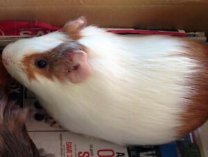 2 male guinea pigs each with a cage, $15 to a good home