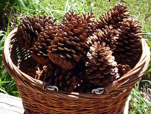 Large Natural Pine Cones Pinecones, Quantity 15