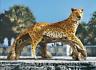 EXOTIC AFRICAN LEOPARD STATUE Jungle Predator Hunter Outdoor Garden Sculpture