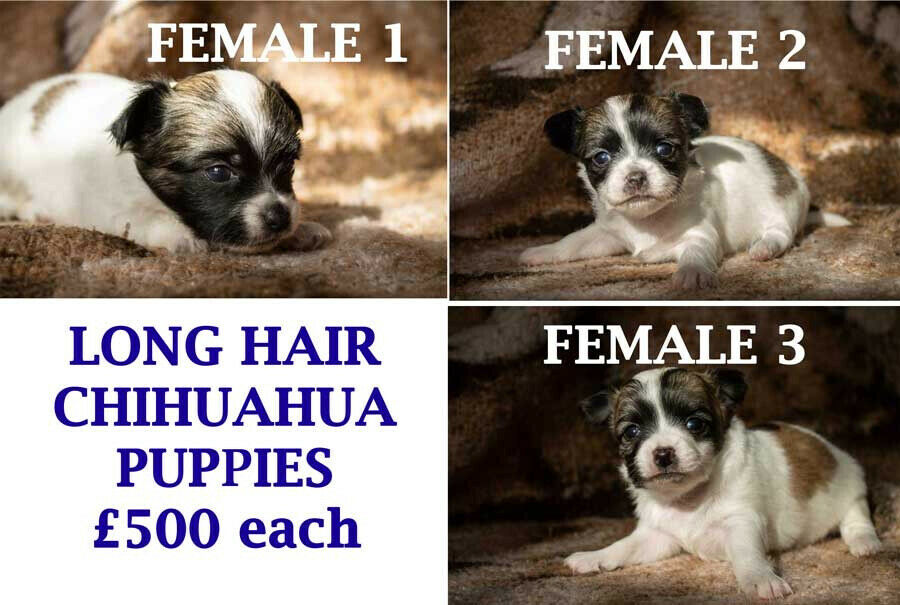 LONG HAIR FEMALE CHIHUAHUA PUPPIES FOR SALE | in Hull, East Yorkshire |  Gumtree