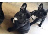 French bulldog puppys
