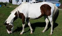 beautiful tovero stallion for sale