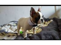Rare pied French bulldogs traditional