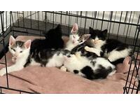 4 beautiful boy kittens