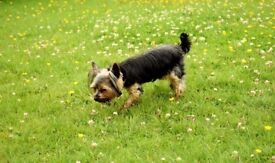 T-cup Yorkshire Terrier Female with Pedigree 2 years