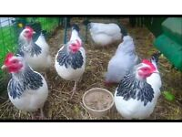 Chickens - pure breed bantam hens for sale.