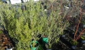 Plants shrubs clearance