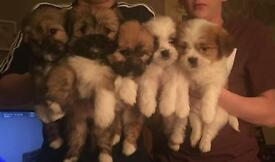 5 full bread lhasa apso pups for sale