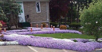 10 Creeping Phlox Lavender Live Perennial Bare Root Large  Healthy Plants