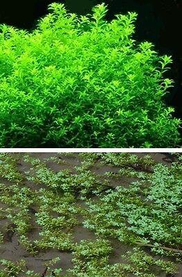 Wassersterne Wasserpflanze Pflanzen für den Gartenteich Unterwasserpflanzen Deko