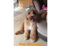 Gorgeously Fluffy Chunky Multi-Generation Double Doodle Puppies