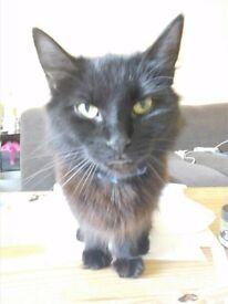 Female black cat
