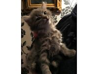 Lovely grey kittens ready to go to new homes