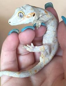 "Young Male Scales, Fins & Other - Gecko: ""Tomato"""