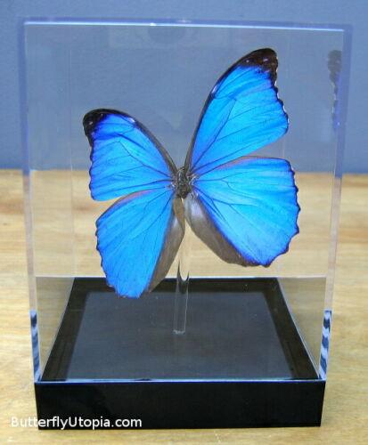 Real 3D Framed Butterfly: Blue Morpho menelaus- Table Top