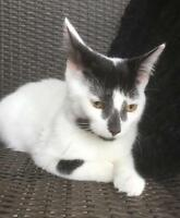 Young Female  - Domestic Short Hair-black and white