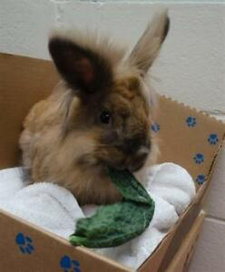 "Young Male Rabbit - Lionhead: ""Elvis"""